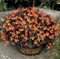 Begonia: Glowing Embers