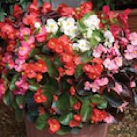 Begonia: Semperflorens- 6 per tray
