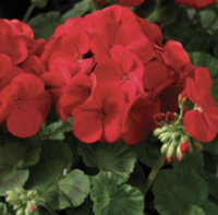 Geranium: Red - 4 per tray