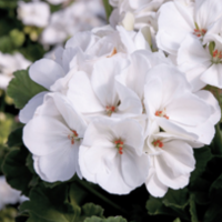 Geranium: White - 4 per tray