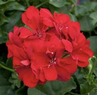 Geranium: Bright Red