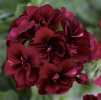 Geranium: Burgundy Red