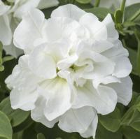 Petunia Diana