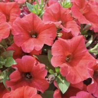 Petunia Fireglow
