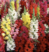 Antirrhinum Mixed - 6 per tray