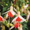 Fuchsia: Mandarin Cream