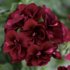 Geranium: Burgundy Red