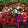 Impatiens: Beacon Mix - 6 per tray